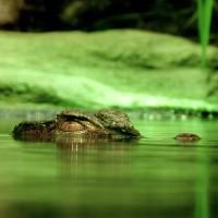crocodile-195783_960_720